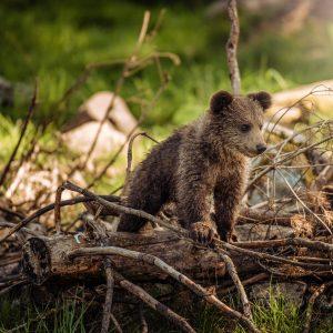 Rudųjų lokių stebėjimas Suomijoje